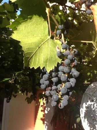 Hotel La Pergola di Venezia: The grape vine in the courtyard was beautiful. I almost thought I could make my own wine.