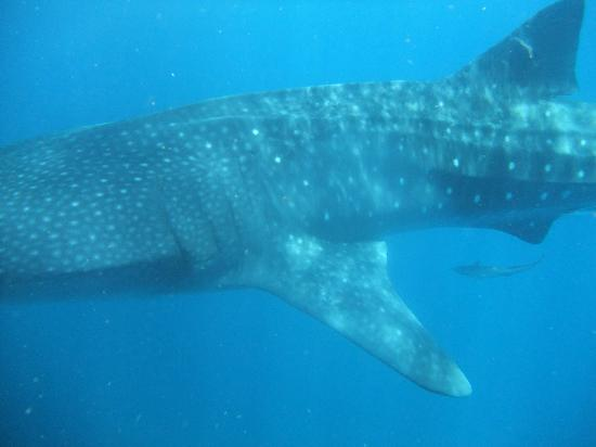 Underwater expeditions -  Tour Tiburon Ballena: up close n personal