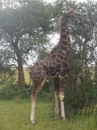 African Adventure Travellers Day Tours: Giraffe