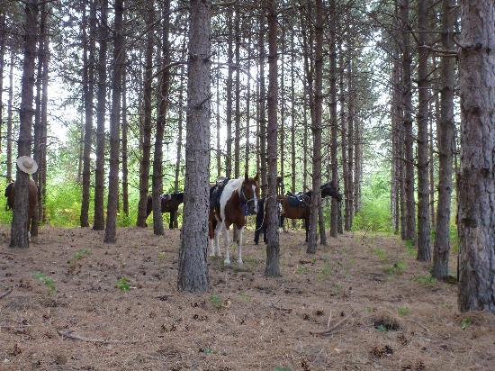 Maneggio Belvedere: cavalli impastoiati in pineta