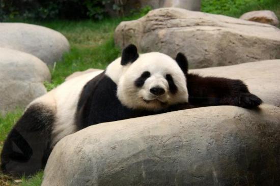 Sleepy Panda Picture Of Ocean Park Hong Kong Tripadvisor