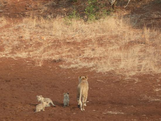 Thanda Safari Lodge: Lioness and cubs