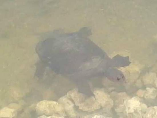 Jungle Erv's Everglades Airboat Tours: Snapping Turtle from the Mangrove Tunnel tour.