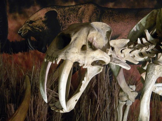 IMAG History & Science Center : a sabre toothed tiger