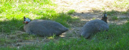 Pretty River Valley Country Inn: Guinea hen Gang