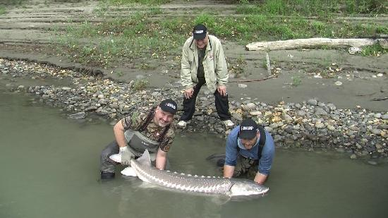 ‪فرازير ريفر آوتبوست لودج: Just one of the many great sturgeon caught on our trip.