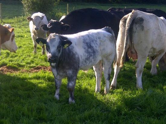 Rainbow Wood Farm: surrounded my beautiful cows