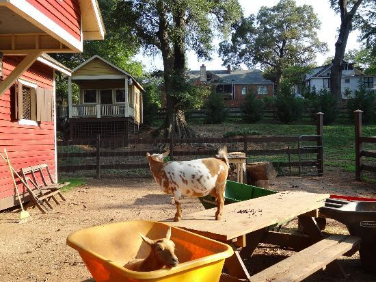 The Social Goat Bed & Breakfast: Where the goats live