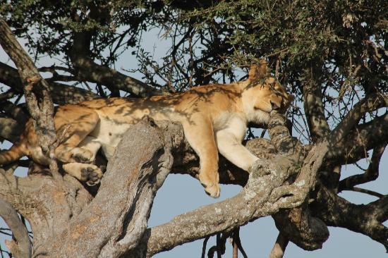 Triángulo de Mara: Lioness sleeping on a tree