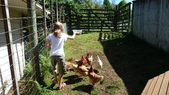 Mokoia Downs Estate B&B: Feeding the hens at Mokoia Downs