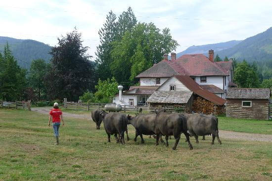 Fairburn Farmstay and Guesthouse: morning water buffalo parade