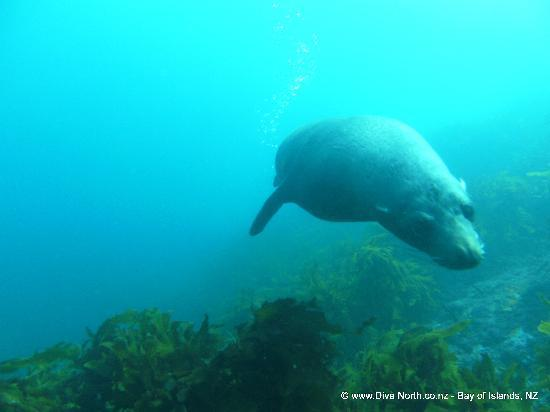 Dive North : Fur Seal joins us on the dive