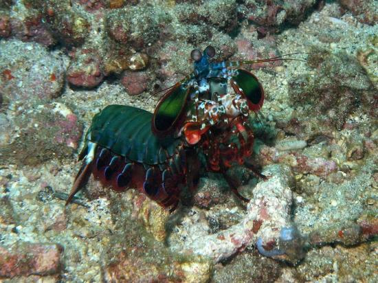 Bali Bubbles Dive Center: Mantis Shrimp at Amuk Bay, Candi Dasa