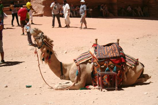 Boat Trip Sharm El Sheikh to Petra : Camel drinking from a water bottle