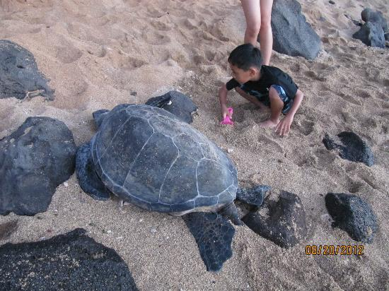Kahana Beach Resort: kids found turtle by the beach below the resort