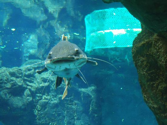 Pesce gatto foto di acquario di genova genova tripadvisor for Pesce gatto acquario