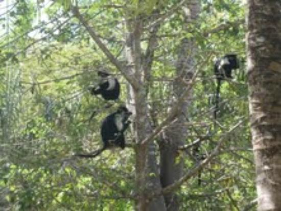 Shambani Cottages: Colobus monkeys around the pool