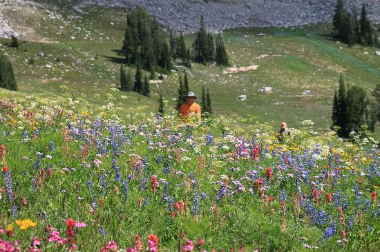 Wildland Llamas: Hiking in wildflowers