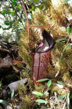 Brinchang, Malasia: plante carnivore