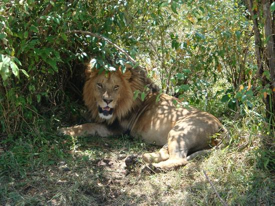 Governors' Il Moran Camp: Eye to eye with a lion