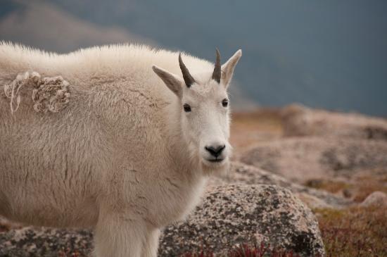 Mount Evans: Mountain Goat
