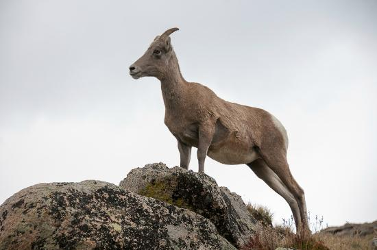 Mount Evans: Goats at lower elevations
