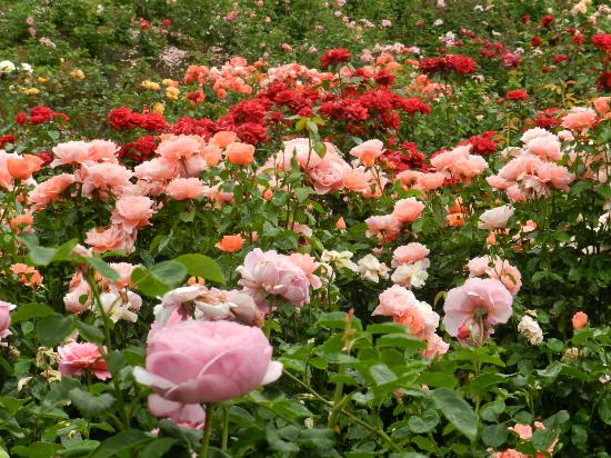 Array Of Colors Picture Of International Rose Test Garden Portland Tripadvisor