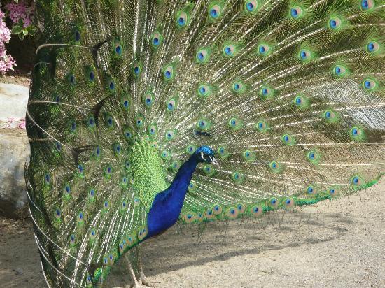 Parc zoologique de Maubeuge : Paon