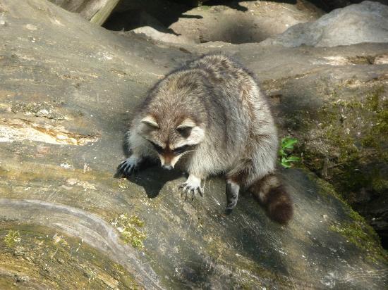 Parc zoologique de Maubeuge : Raton-laveur