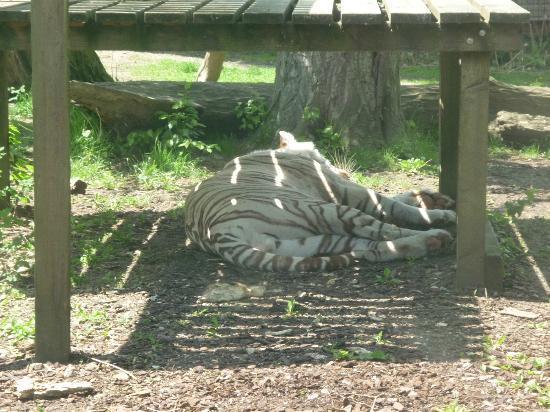 Parc zoologique de Maubeuge : Tigre