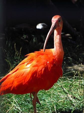 Leipzig Zoo (Zoologischer Garten Leipzig): scarlet ibis