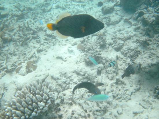 Vivanta by Taj Coral Reef Maldives: Drückerfisch