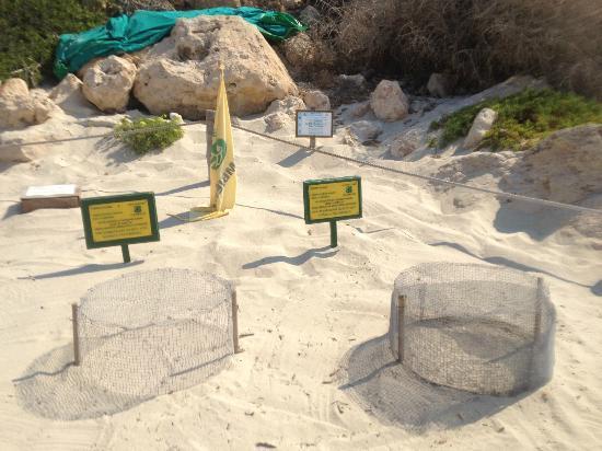 Isola dei Conigli: uova della tartaruga carretta carretta sulla spiaggia dei conigli
