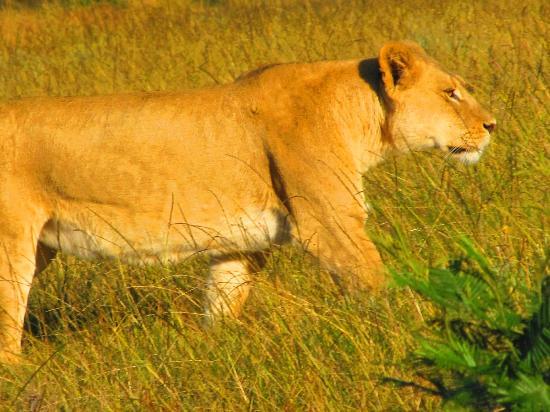 Gondwana Game Reserve: Lioness