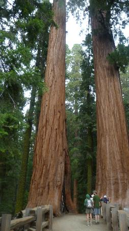 Lodgepole Campground: Giants!