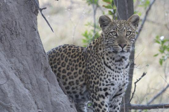 Sanctuary Chief's Camp: The leopard was fixed on a prey animal