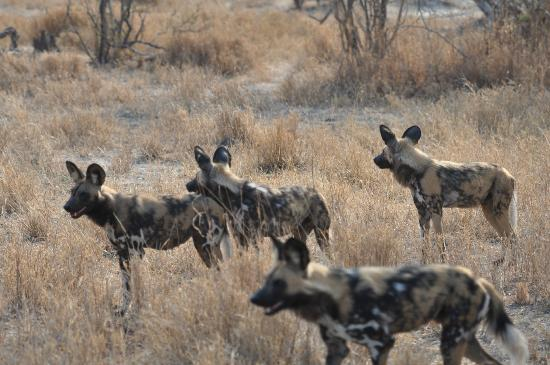 Sanctuary Chief's Camp: wild dogs out hunting