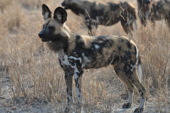 Sanctuary Chief's Camp: wild dogs