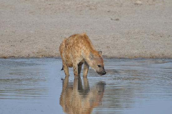 Sanctuary Chief's Camp: a mother hyena