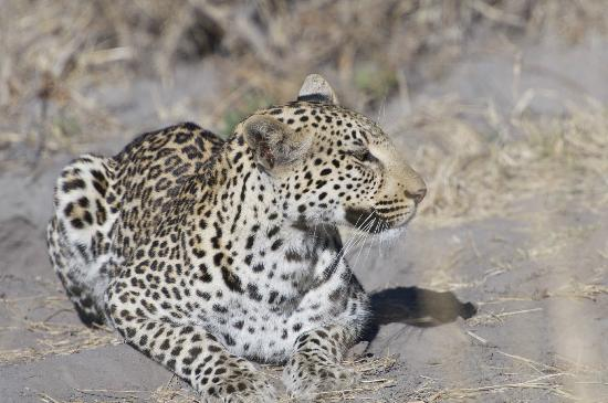 Sanctuary Chief's Camp: Another Leopard, same day