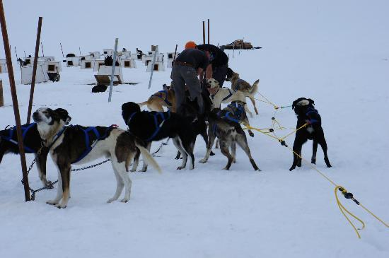 Alaska Icefield Expeditions: Getting the dogs ready