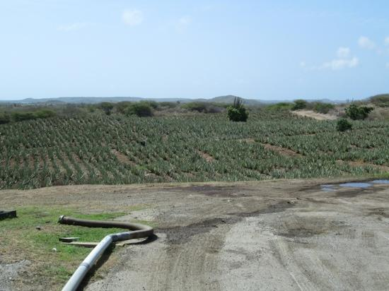 The Aloe Vera Plantation, Home of Curaloe: That's a lot of lotion...