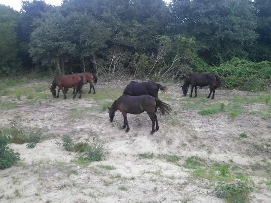 Hilton Garden Inn Outer Banks/Kitty Hawk: Wild horses grazing in the marsh