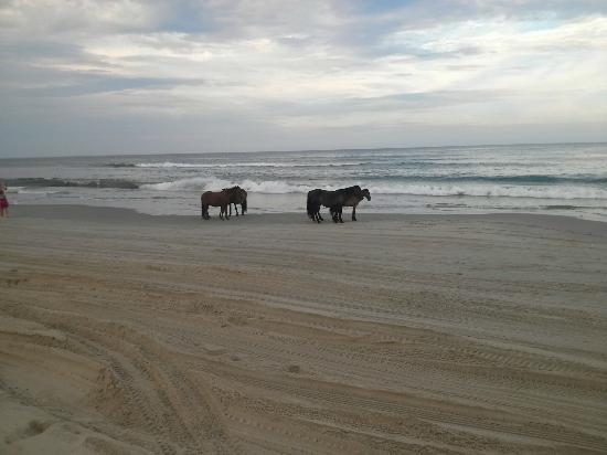 Hilton Garden Inn Outer Banks/Kitty Hawk: Wild Horses on Carova Beach