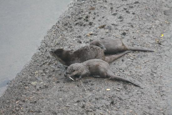 Beauly, UK: Mother Otter with 2 cubs near Aigas