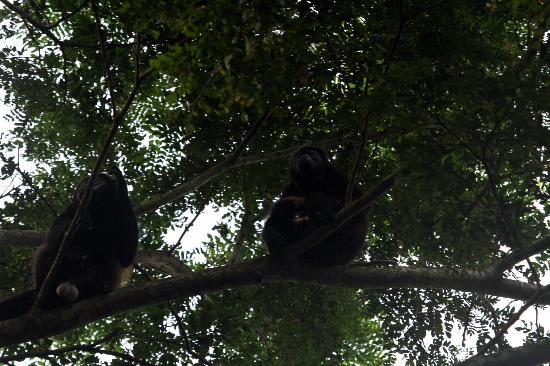 Iguana Lodge: Howler monkeys