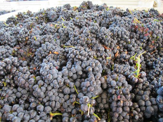 Windward Vineyard: 2011 Harvest