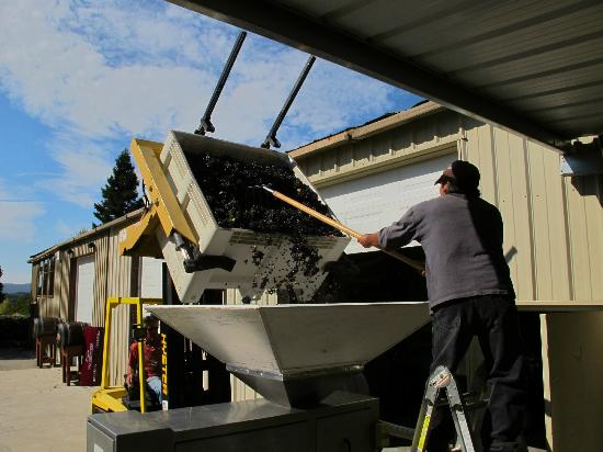 Windward Vineyard: Sorting and Crushing
