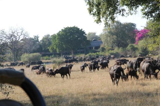 Sabi Sabi Bush Lodge: Buffalos and our hotel in the background