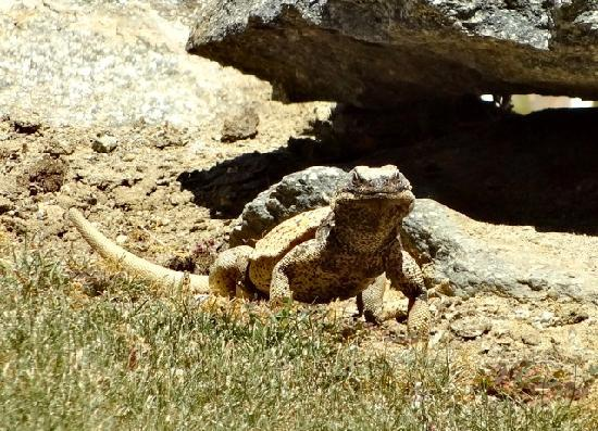 Chuckwalla Lizard Picture Of Trail Discovery Hiking